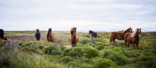 wild horses looking at the camera